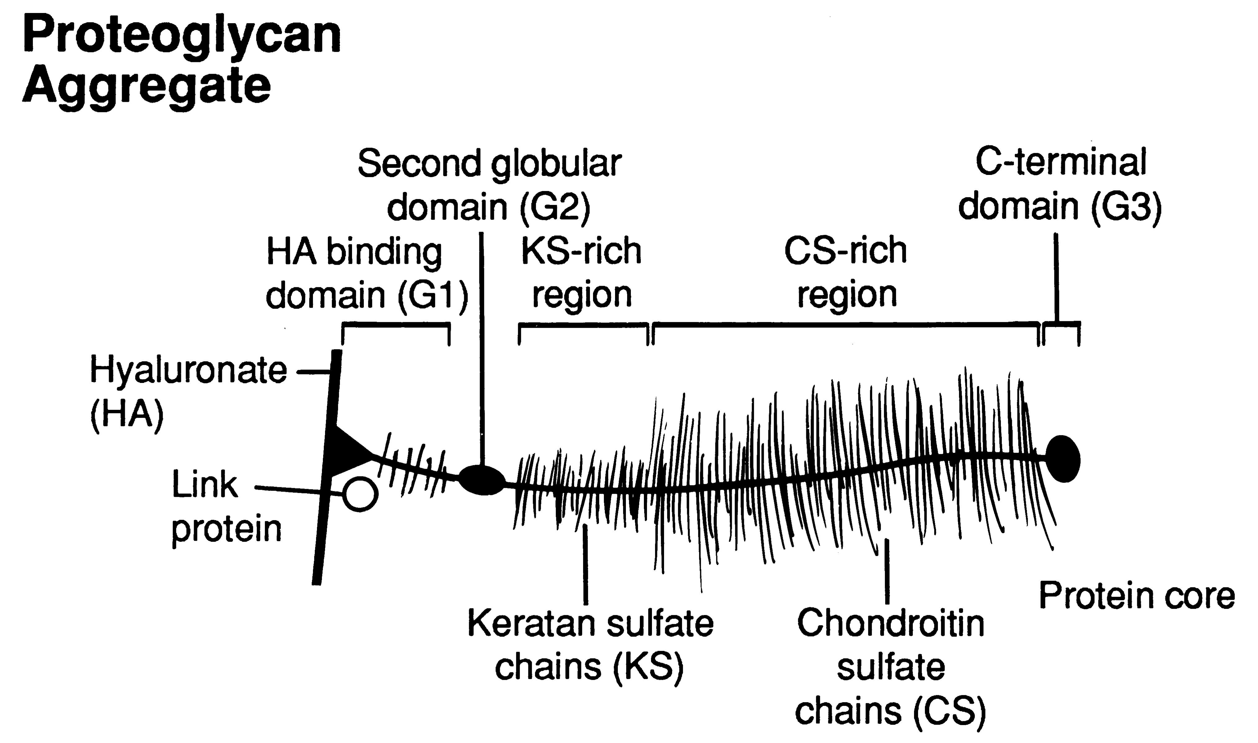 proteoglycans orthogate press